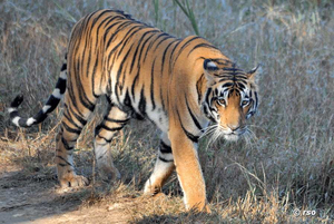 Tiger im Nationalpark in Indien