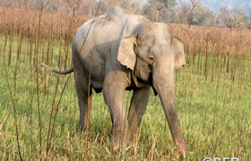 Elefant im Kaziranga Nationalpark